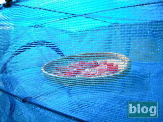 干し網に入れたミニトマトの写真