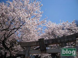 氷川神社の桜の写真