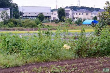 Shirobana2015091901