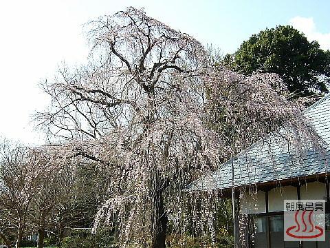 慈眼寺のしだれ桜の全景写真