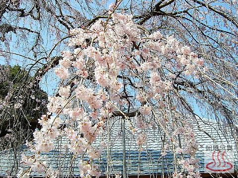 慈眼寺のしだれ桜の写真2