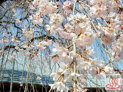 慈眼寺のしだれ桜の写真3
