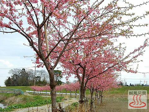 河津桜(坂戸市飯盛川の土手)